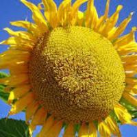 Семена подсолнечника Mas 86.CP купить
