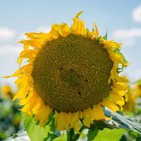 Насіння соняшнику Mas 89.M купити