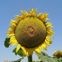 Насіння соняшнику Mas 91.G купити