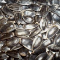 Посевной подсолнечник подсолнух семена сорт Мастер описание характеристика цена купить в Украине