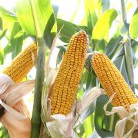 кукуруза гибрид Маттео фото