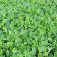 Семена рапса Ментор (Лембке) купить в Украине, описание гибрида, отзывы, цена, доставка