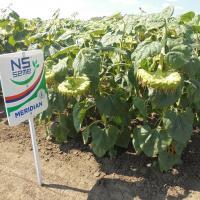 Подсолнечник гибрид Меридиан купить семена