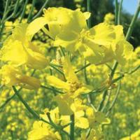 Семена рапса Мерседес (Лембке) купить в Украине, описание гибрида, отзывы, цена, доставка