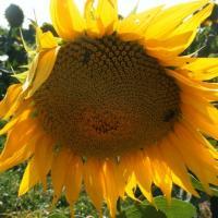 Подсолнечник гибрид НХ12М010 купить семена