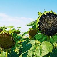 Соняшник НХ 81220 HTS купити насіння
