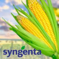 кукуруза гибрид НК Пако фото