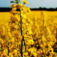 Семена рапса НК Петрол (Сингента) купить в Украине, описание гибрида, отзывы, цена, доставка