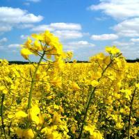 Семена рапса НК Техник (Сингента) купить в Украине, описание гибрида, отзывы, цена, доставка