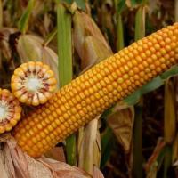 кукурудза гібрид СІ Новатоп фото