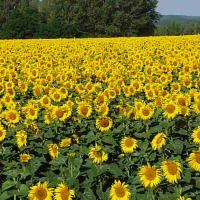 Подсолнечник гибрид НС-Х-6045 купить семена