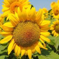 Насіння соняшника НС Круна від Агроэксперт-Трейд