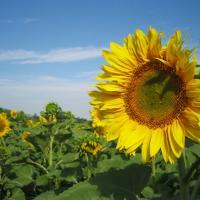 Соняшник гібрид НС Оро купити насіння