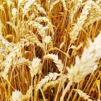 Семена пшеницы НС 40 С от Агроэксперт-Трейд