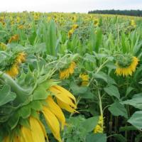 Подсолнечник гибрид НС Аркона (ВЛСП) купить семена