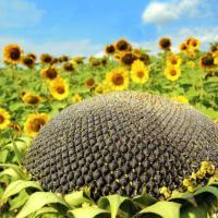 Соняшник гібрид НС Аякс (ДФСП) купити насіння