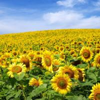 Соняшник гібрид НС Грифон (НС 7640) купити насіння