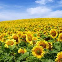 Подсолнечник гибрид НС Грифон (НС 7640) купить семена
