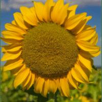Семена Подсолнечника НС Х 1749 от Агроэксперт-Трейд