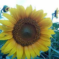Подсолнечник гибрид НС Сумо 556 купить семена