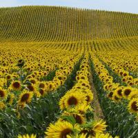Соняшник гібрид НС Тор (НС 7749) купити насіння