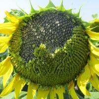 Насіння соняшнику Обріон