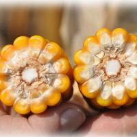 кукуруза гибрид Окато фото