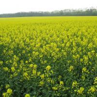 Семена рапса НК Октан (Сингента) купить в Украине, описание гибрида, отзывы, цена, доставка