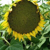 Семена Подсолнечника Орфео ШТ от Агроэксперт-Трейд