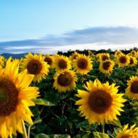 Насіння соняшнику Осман