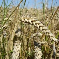 Посевная озимая пшеница семена сорт Богдана описание характеристика цена купить в Украине