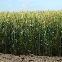 Посевная озимая пшеница семена сорт Подолянка описание характеристика цена купить в Украине