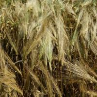 Посевной озимый ячмень семена сорт Абориген описание характеристика цена купить в Украине