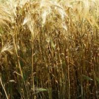 Посевной озимый ячмень семена сорт Достойный описание характеристика цена купить в Украине