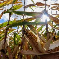 Кукурудза гібрид p0074 насіння