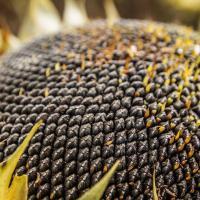 Семена Подсолнечника П64ХЕ118 (P64HE118) от Агроэксперт-Трейд