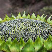 Семена Подсолнечника П64ЛЕ119 (P64LE119) от Агроэксперт-Трейд