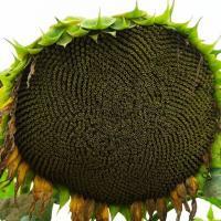 Семена подсолнечника P64LP130 купить