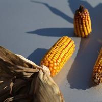 кукуруза гибрид P8816 семена