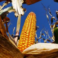 кукуруза гибрид P9074 семена