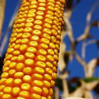 Кукурудза гібрид Р9175 насіння
