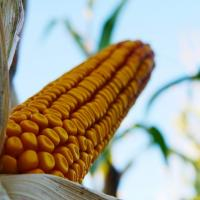 кукуруза гибрид P9241 семена