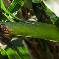 Кукурудза гібрид Р9578 насіння