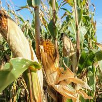 кукуруза гибрид P9718E семена