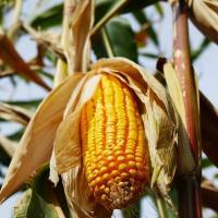 кукуруза гибрид P9903 семена