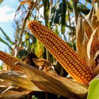 Кукурудза гібрид p9911 насіння