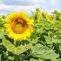 Подсолнечник гибрид Пегас купить семена