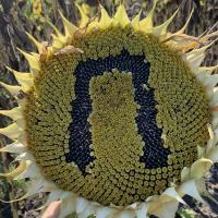 Семена Подсолнечника НС Пегас от Агроэксперт-Трейд