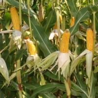 кукуруза гибрид Пеларко фото