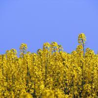 Семена рапса ПХ128 купить в Украине